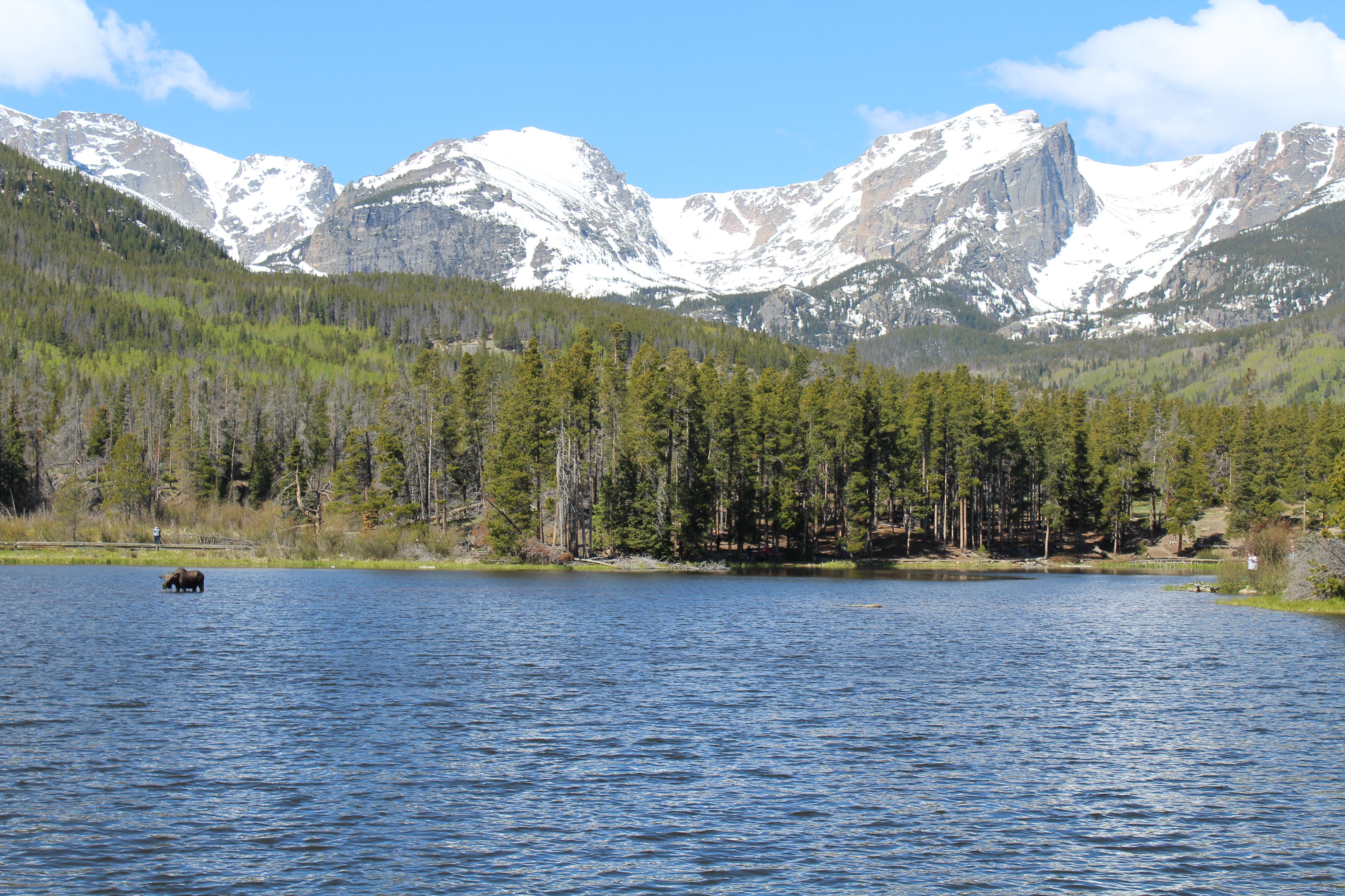 Moose at Sprague Lake in Rocky Mountains