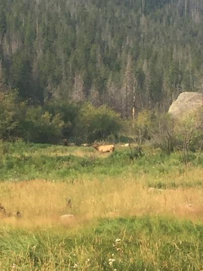 buck elk in rut season - rocky mountain national park