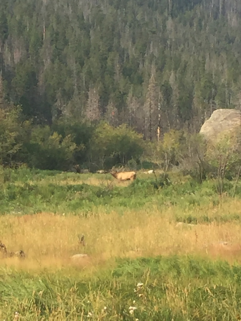 buck elk in rut season - rocky mountain national park
