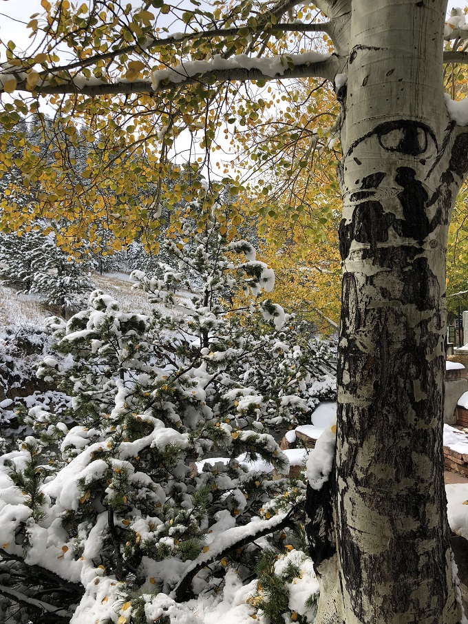 Aspen in snow in estes park colorado