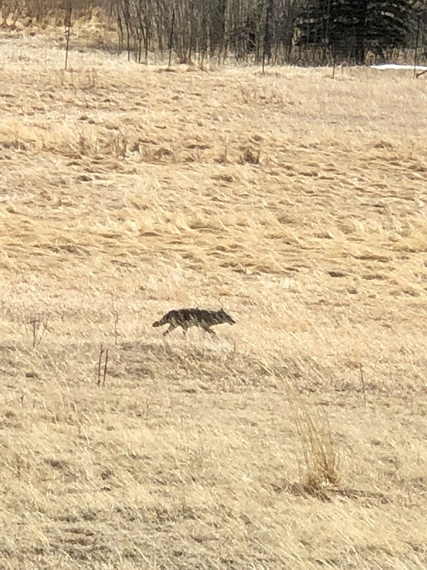 A fox prowling for food near Rocky Mountain National Park