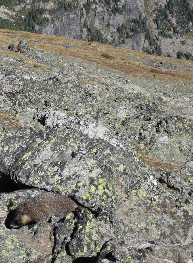 A marmot near Twin Sisters Peaks