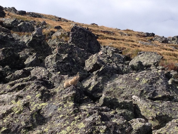 A pika calling out in Rocky Mountain alpine tundra