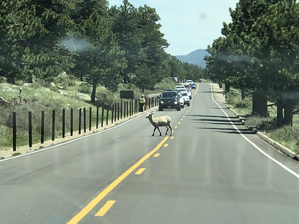 A bighorn sheep crosses the road near Sheep Lakes in Rocky Mountain National Park