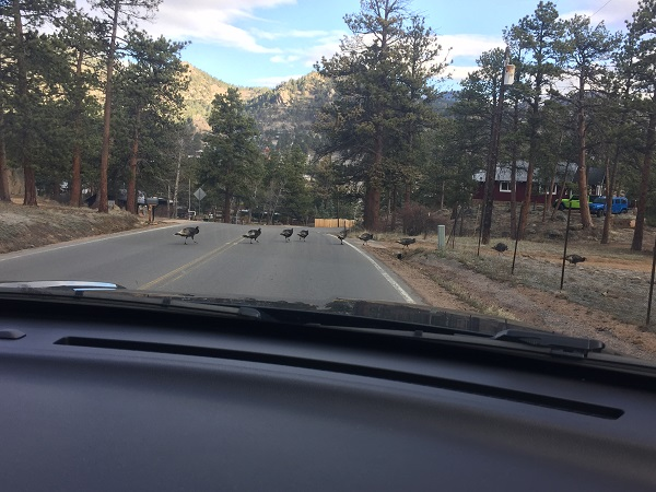 Turkey traffic jam in Estes Park, CO
