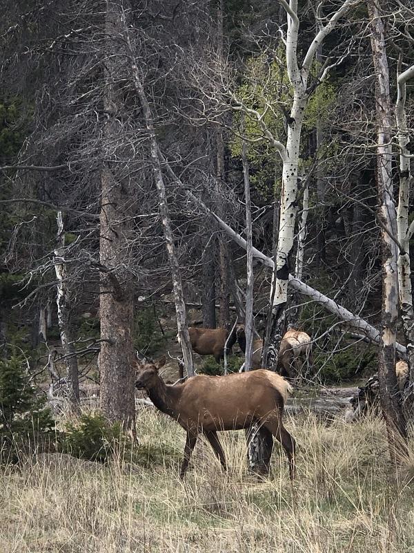 elk in Upper Beaver Meadows