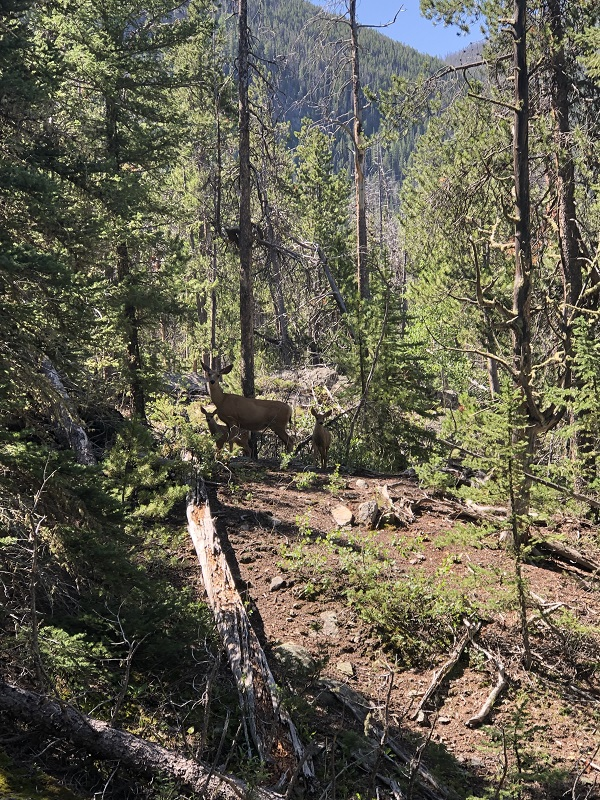 Deer are seen on the way to East Meadow in Rocky Mountain National Park