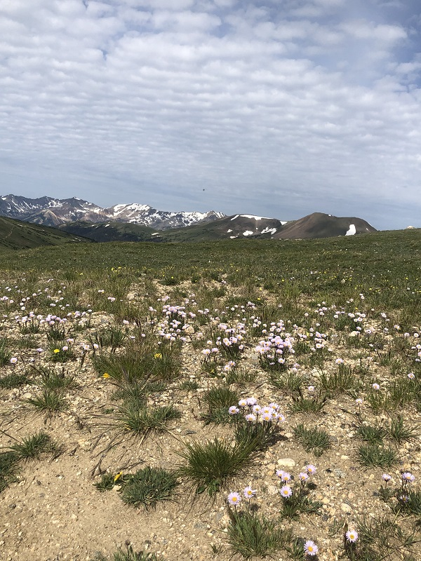wildflowers in rocky mountain national park tundra