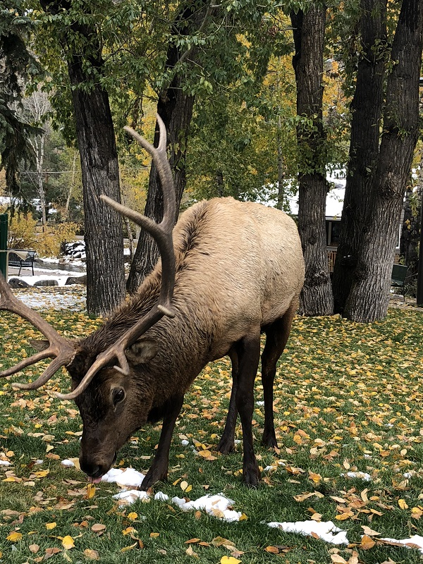 Elk Rut season in Rocky Mountain National Park