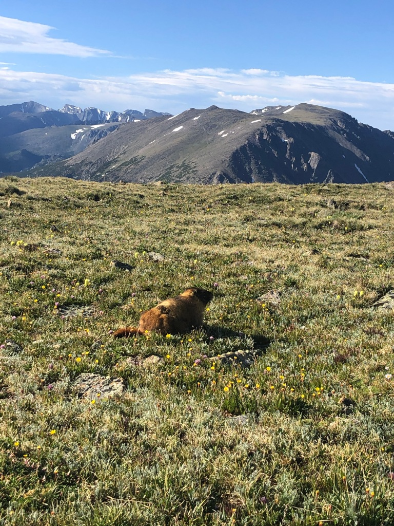 marmot with mountain views on tundra in rocky mountain national park