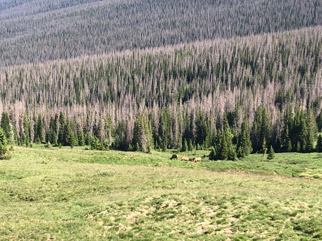 Elk grazing in meadow in Rocky Mountain National Park