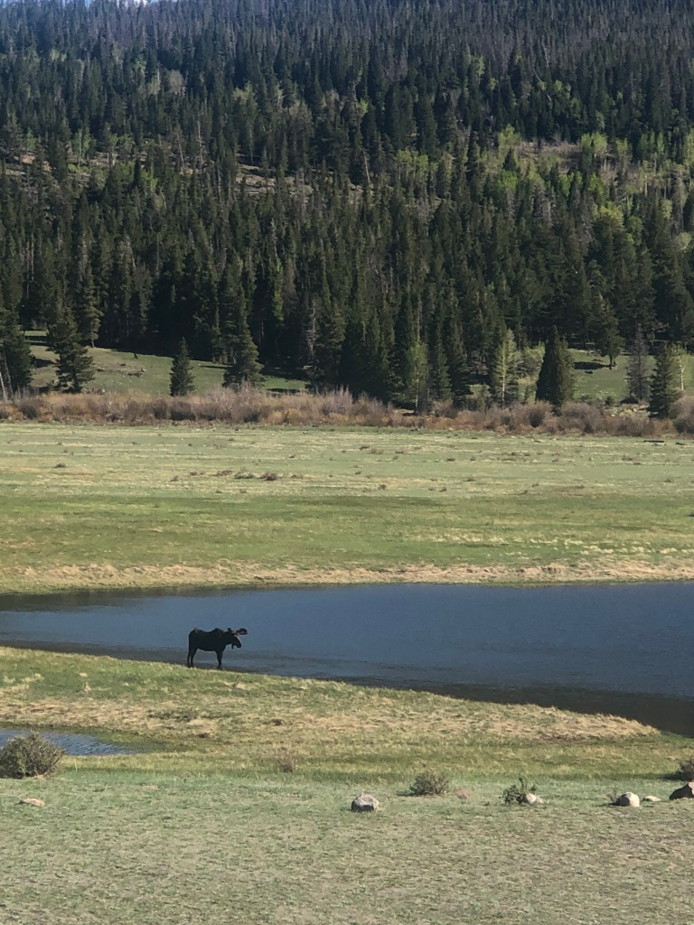 Moose at Sheep Lakes in Rocky Mountain National Park