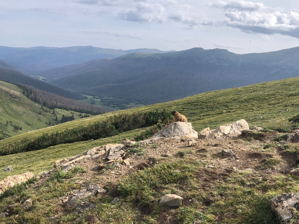 Marmot Rocky Mountain National Park
